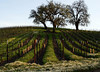 oaks on hill and winter vineyard