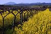 mustard in vineyard 15