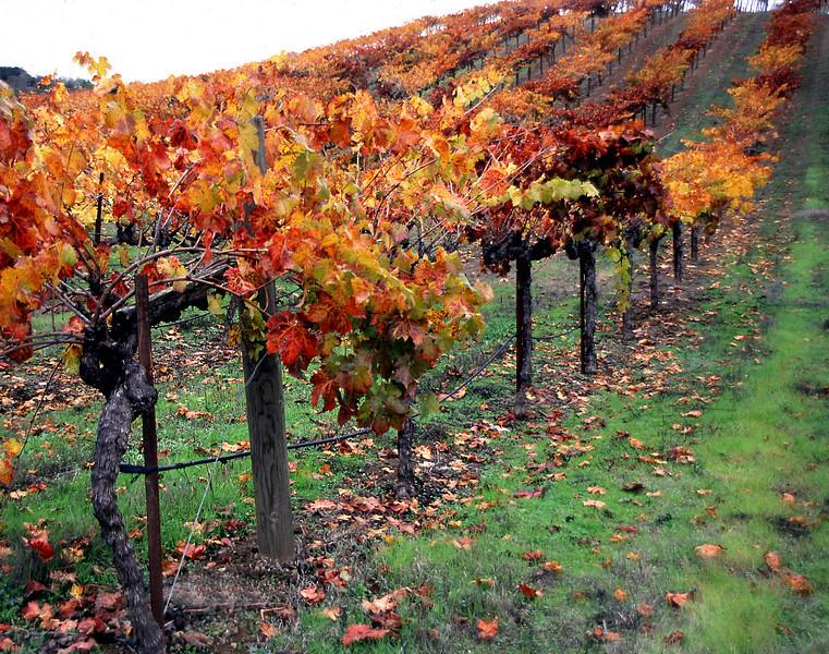 orange vineyard on hill