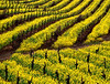 mustard vineyard 4