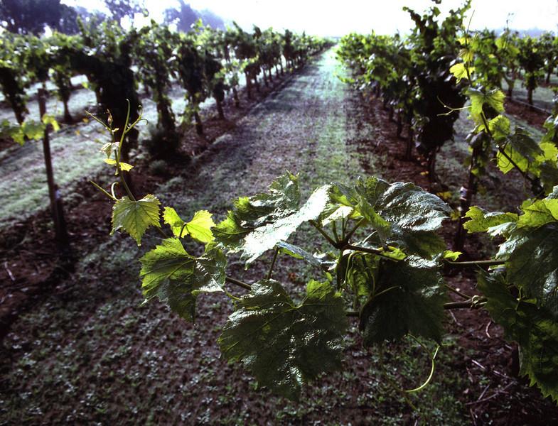 summer vineyard leaves
