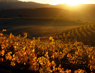 fall vineyard sunset