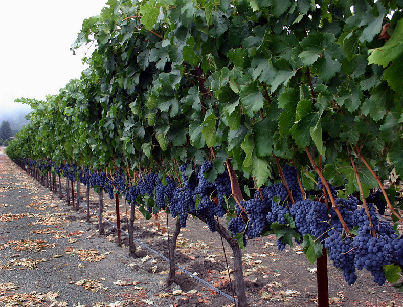 grapes on vine row