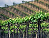 young vines on hill