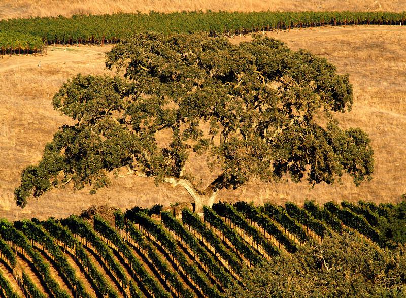vineyard an old oak summer grass