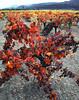 fall vineyard 8