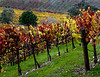 fall vineyard hillside 4