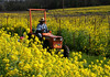 tractor in mustard vineyard