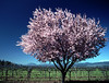 plum blossom and bare vineyard
