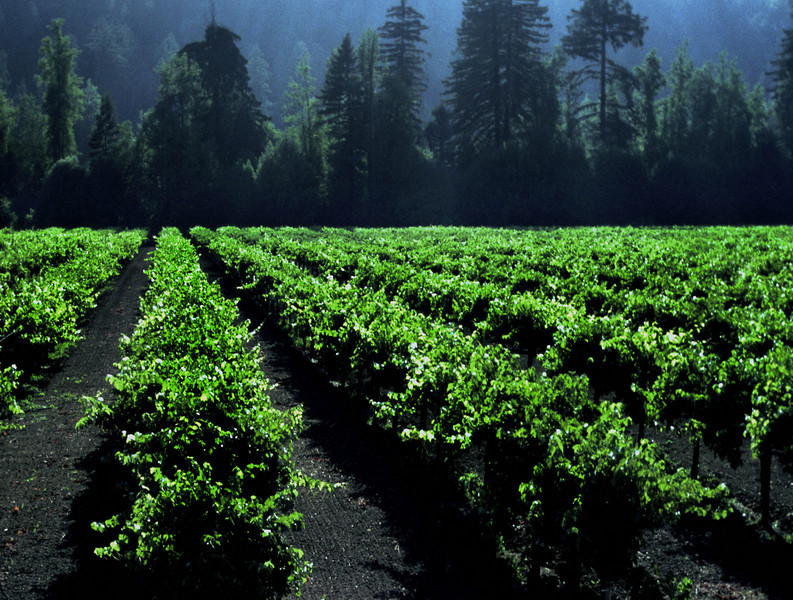 summer vineyards and redwoods