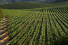 summer vineyard rows
