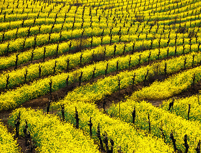 mustard in vineyard 4