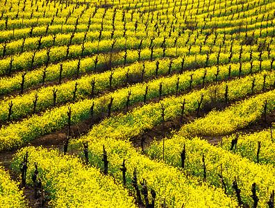 mustard in vineyard 4