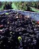 grape harvest crate