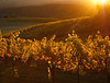 sonoma mountain sunset over fall vines