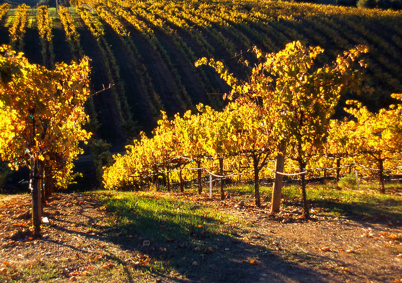 fall vineyard 21