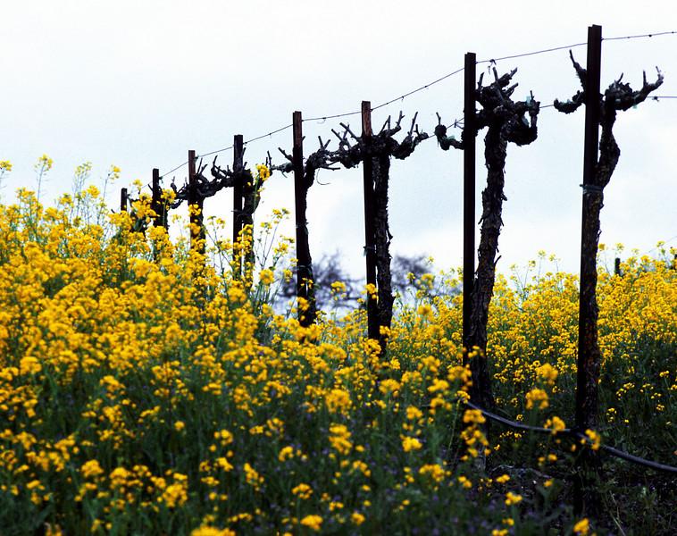 musatrd and bare grape vines
