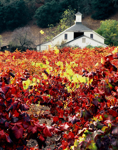 white barn and fall vineyard
