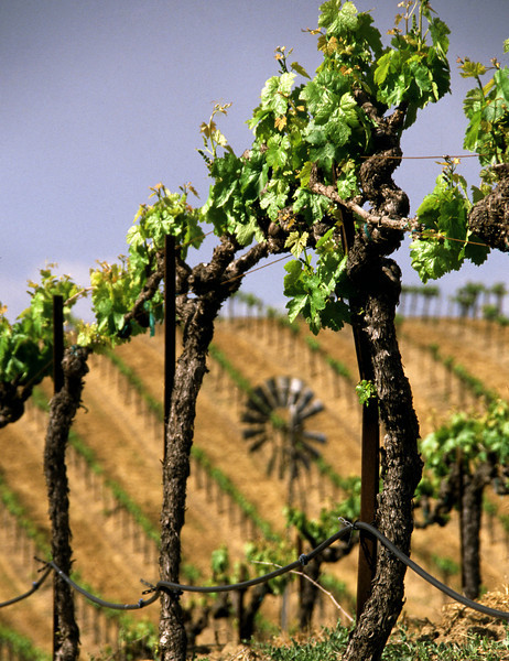 young vines and windmill