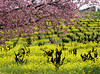plum blossoms mustard vineyard 2