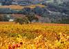 fall vineyard and hillsides