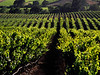 summer vines carneros