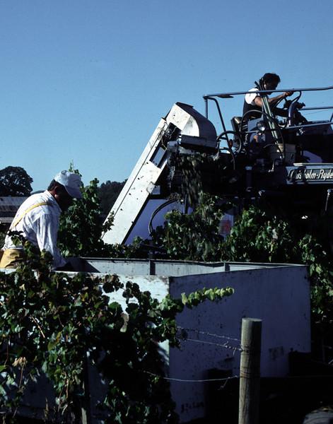 harvesting grapes 2