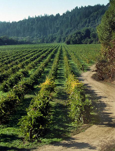 summer vineyard 21