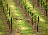 geese in spring vineyard