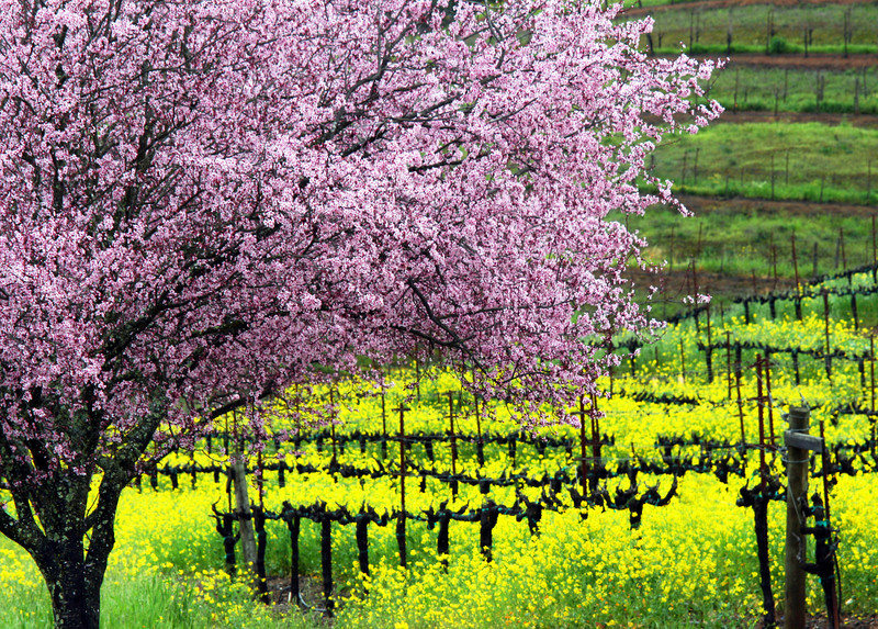 plum blossoms and mustard in vineyard