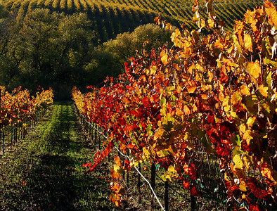 fall vineyard 20