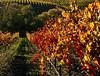 fall vineyard 20