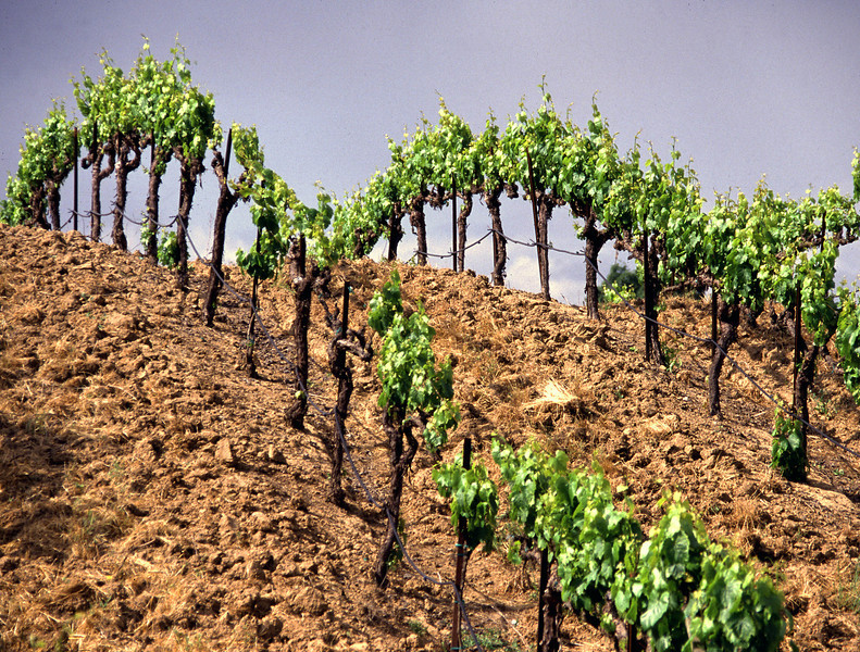 spring vines on hill
