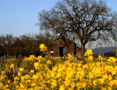 barn and mustard 1