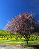 vineyard mustard and plum blossoms 2