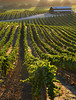 summer vineyard and barn backlit