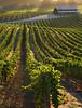 summer vineyard and barn backlit