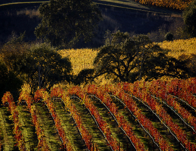 fall vineyard carneros 3