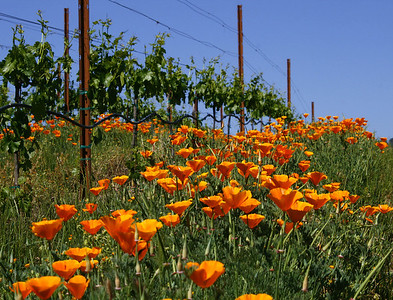 poppies in vineyard 2