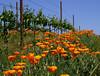 poppies in vineyard 2