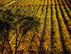 above fall vineyard
