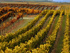 carneros fall vines 7