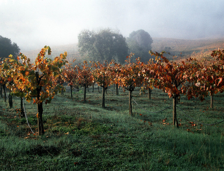 fall vineyard in fog
