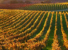fall vineyard red and yellow vines 2