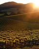 backlit summer vineyard 2