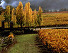 poplar trees and fall vineyard