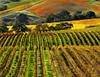 fall vineyard 27