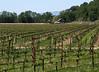 barn and spring vineyard