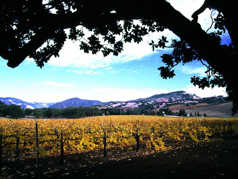 fall vineyard tree and road