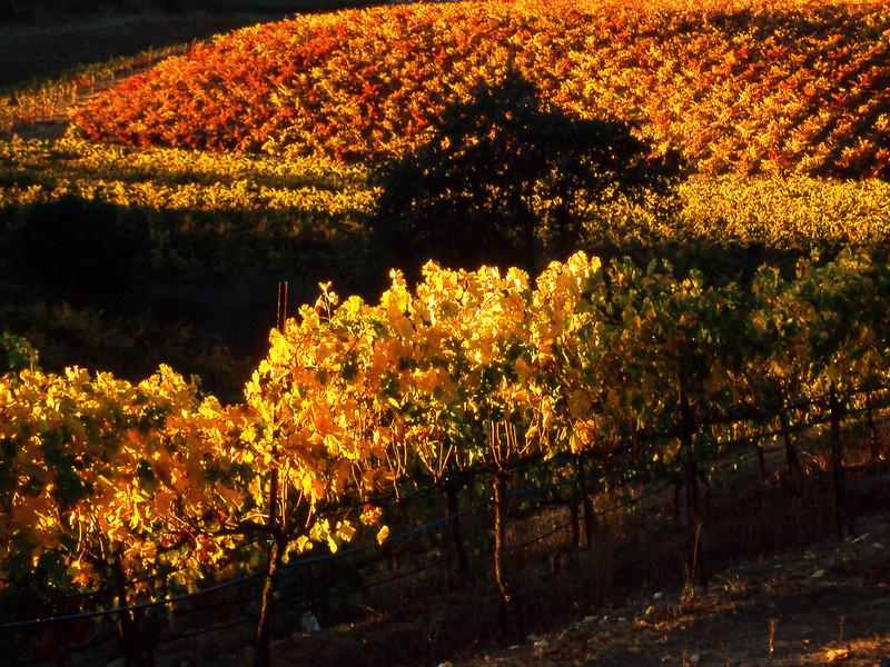 fall vineyard 25b